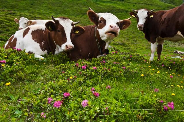 bovine.jpg