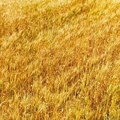 http://www.drtihanyi.hu/uploads/wheat.jpg